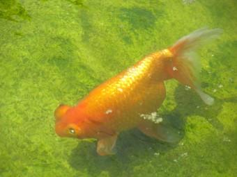 ウワサの【葛飾区金魚展示場】in水元公園
