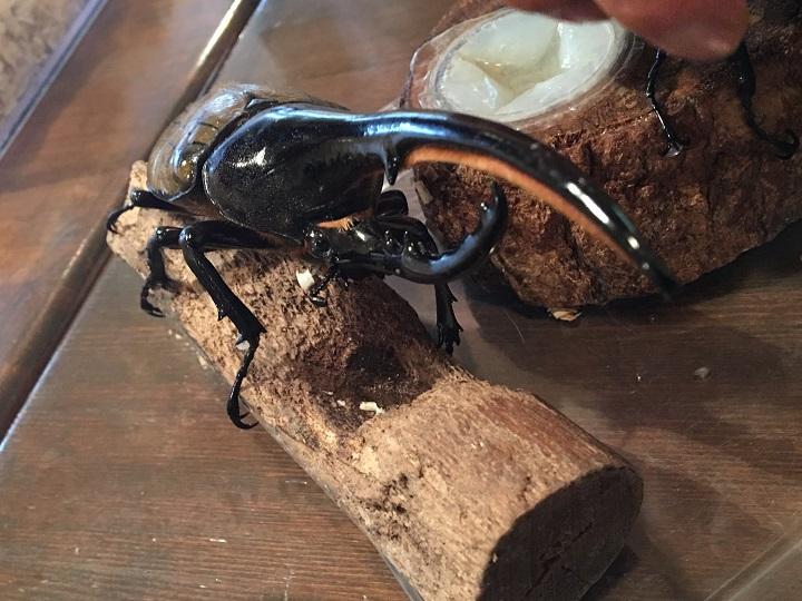 亀有の「炭火焼鶏 串之介」にいるヘラクレスオオカブト