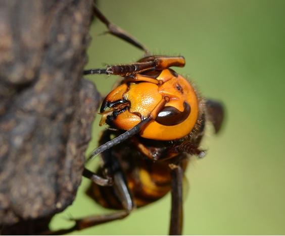 水元公園のヒメスズメバチ
