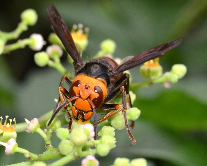水元公園のコガタスズメバチ